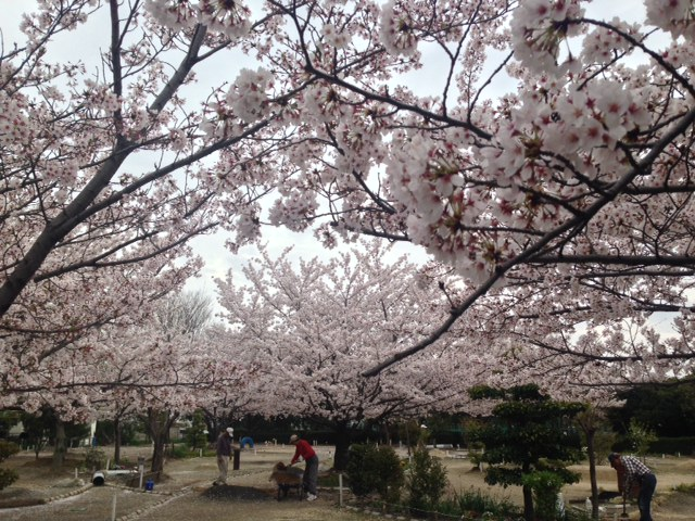 桜満開☆のち雨続き