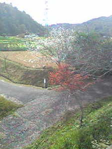 秋に咲く桜